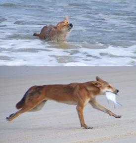 Dingo-fishing
